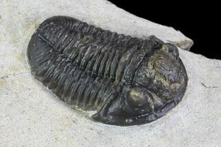"1.15"" Gerastos Trilobite Fossil - Foum Zguid  For Sale, #69737"