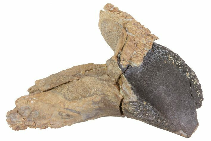 "1.75"" Rooted Triceratops Tooth - South Dakota"