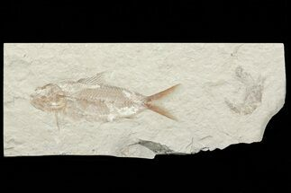 Fossil Fish (Nematonotus) & Shrimp - Lebanon For Sale, #70322