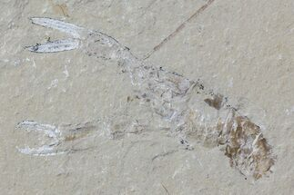 "2.4"" Fossil Lobster (Pseudostacus) & Shrimp - Lebanon For Sale, #70430"