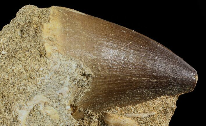 "1.6"" Mosasaur (Prognathodon) Tooth In Rock"