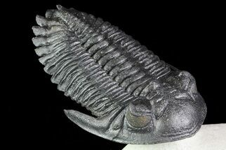 "2.8"" Flying Hollardops Trilobite - Great Eyes For Sale, #70580"