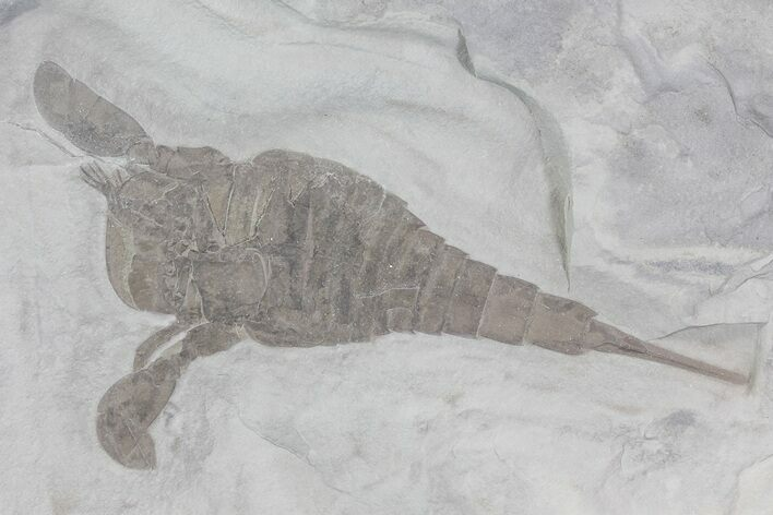 "5.5"" Eurypterus (Sea Scorpion) Fossil - New York"