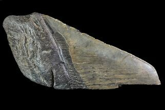 "4.69"" Fossil Megalodon Tooth ""Paper Weight"" For Sale, #70532"