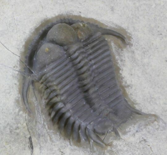 Two Beautiful Cyphaspides Trilobites - Jorf, Morocco