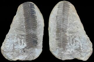 "3.5"" Pecopteris Fern Fossil (Pos/Neg) - Mazon Creek For Sale, #70370"
