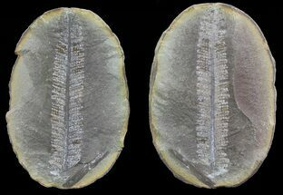 "3.4"" Pecopteris Fern Fossil (Pos/Neg) - Mazon Creek For Sale, #70373"