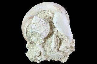 "Buy 2.6"" Tall Miocene Fossil (Gastropod) Cluster - France - #70867"