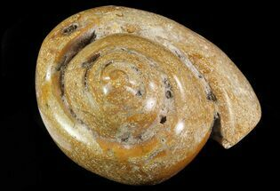 "3.5"" Polished Fossil Gastropod - Madagascar For Sale, #70715"