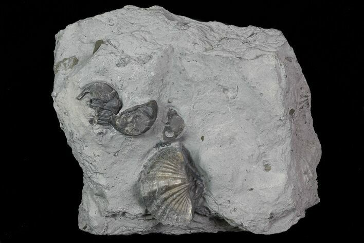 Devonian Brachiopod and Eldregeops - New York