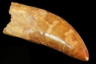 "Buy 4.2"" Carcharodontosaurus Tooth - Great Serrations - #71101"