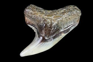 Buy Colorful Fossil Tiger Shark (Galeocerdo) Tooth - Virginia - #71137