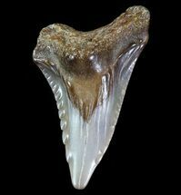 ".9"" Hemipristis Shark Tooth Fossil - Virginia For Sale, #71117"