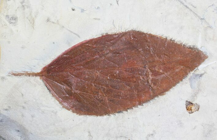 "2.5"" Detailed Fossil Hackberry Leaf - Montana"