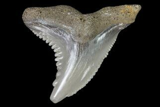 "Buy 1.05"" Hemipristis Shark Tooth Fossil - Virginia - #71572"