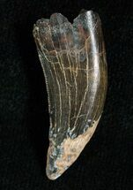 Large 1.14 Inch Raptor Tooth - Montana For Sale, #5672