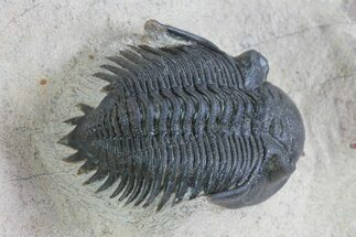 "1.2"" Prone Metacanthina Trilobite - Healed Bit Mark For Sale, #71615"