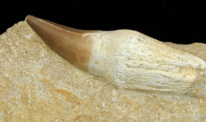"2.7"" Mosasaur (Prognathodon) Rooted Tooth In Rock - Nice Tooth"