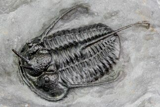 "1.5"" Devil Horned Cyphaspis Trilobite - Top Quality Specimen For Sale, #71711"