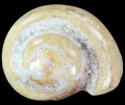"1.9"" Polished Fossil Gastropod - Madagascar For Sale, #70685"
