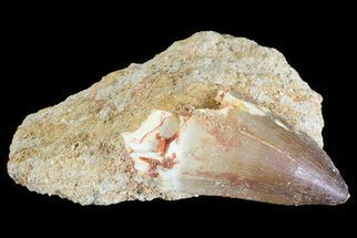 "2.4"" Mosasaur (Prognathodon) Tooth In Rock For Sale, #70478"