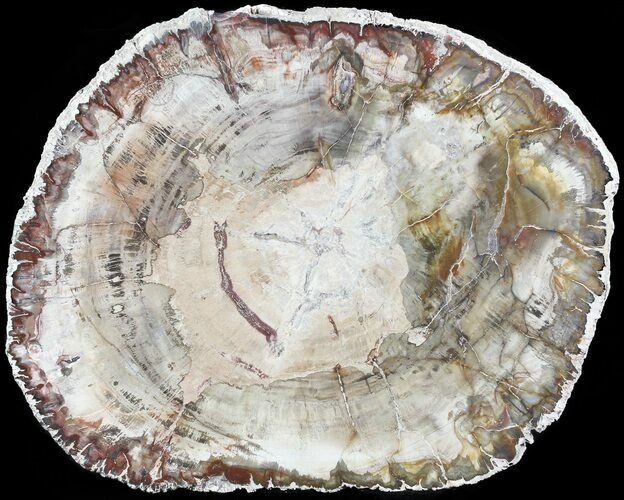 "7.9"" Petrified Wood (Araucaria) Slab - Madagascar"