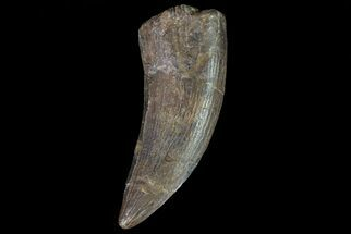"Buy 1.88"" Tyrannosaur Tooth - Judith River Formation - #72343"