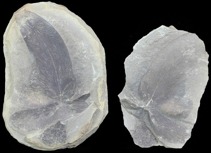 "3.2"" Fossil Neuropteris Seed Fern Leaf (Pos/Neg) - Mazon Creek"