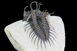 "Buy 2.2"" Spiny Comura Trilobite - Excellent Preparation - #72712"