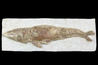 "10"" Detailed & 3D Fossil Fish - Goulmima, Morocco For Sale, #72869"