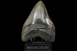 Carcharocles megalodon - Fossils For Sale - #73833