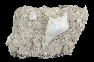 Eocene Fossil Gastropod (Athleta) - Damery, France For Sale, #73820