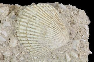 Buy Eocene Fossil Clam (Venericardia) - Damery, France - #73828