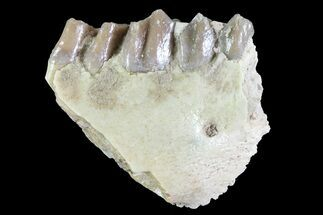 Oreodont (Leptauchenia) Jaw Section - South Dakota For Sale, #73649