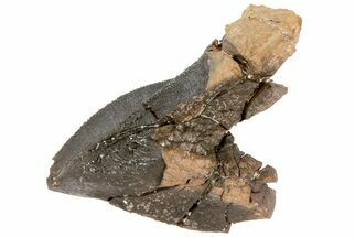 Triceratops horridus - Fossils For Sale - #73872