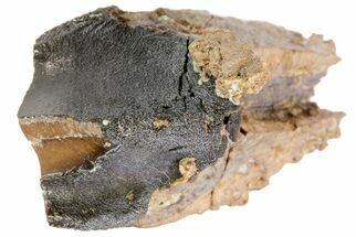"Buy 1.45"" Feeding Worn Triceratops Tooth - South Dakota - #73879"