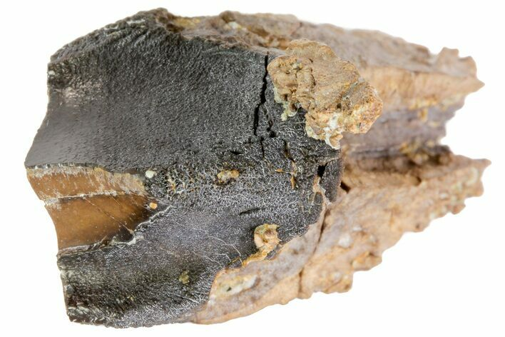 "1.45"" Feeding Worn Triceratops Tooth - South Dakota"