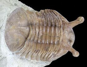 "Buy 1.9"" Asaphus Kowalewskii Trilobite With Stalk Eyes - #74023"