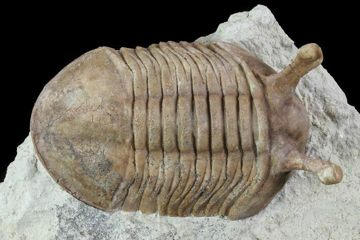"1.55"" Asaphus Kowalewskii Trilobite With Stalk Eyes"