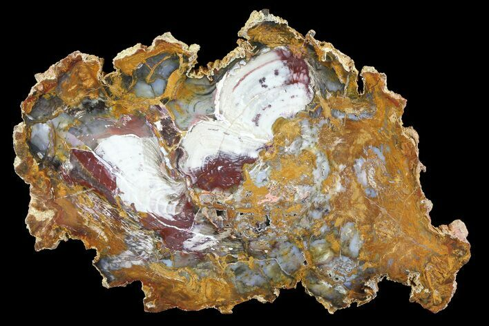 Beautiful Hubbard Basin Petrified Wood Slab - 12.4""