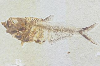 "5.4"" Diplomystus Fossil Fish - Wyoming For Sale, #74117"