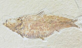 "Buy Bargain, 3.7"" Knightia Fossil Fish - Wyoming - #74128"