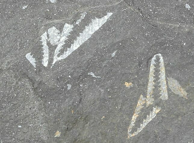Fossil Graptolites (Didymograptus) - Great Britain