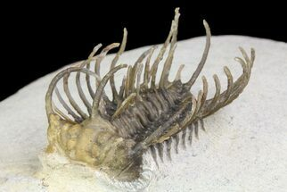 "Bargain, 1.4"" Spiny Koneprusia Trilobite (Reduced Price) For Sale, #74159"