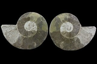 "Buy Bargain, 6.3"" Cut & Polished Ammonite Fossil - Mud Filled - #73957"