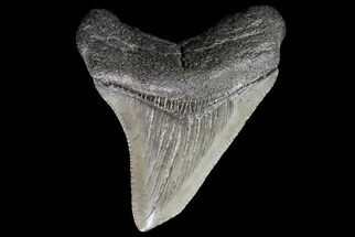 "Buy 2.31"" Juvenile Megalodon Tooth - South Carolina - #74230"