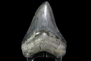 Carcharocles megalodon - Fossils For Sale - #74610
