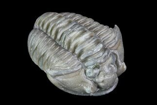 ".89"" Long, Flexicalymene Trilobite - Ohio For Sale, #74729"