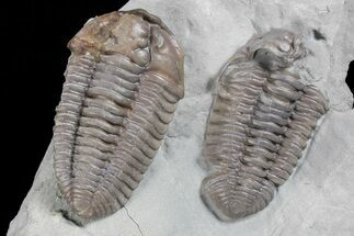 Bargain, Two Flexicalymene Trilobites - Ohio For Sale, #74720