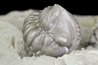 "Bargain, .6"" Wide, Enrolled Flexicalymene Trilobite In Shale - Ohio For Sale, #72023"